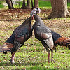 Turkey Fight (1)