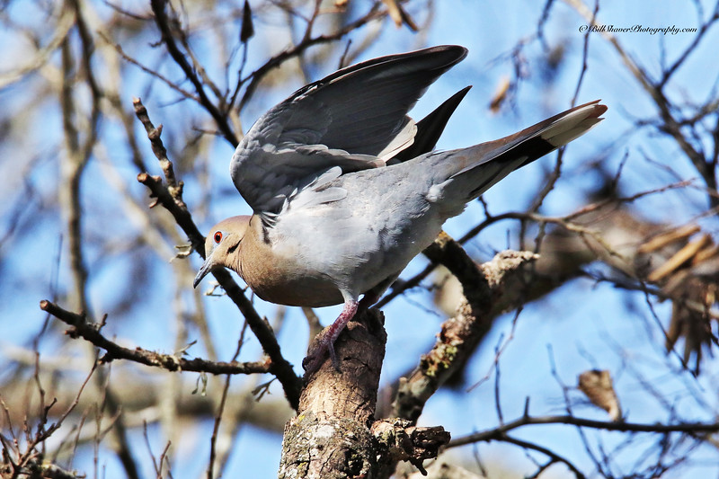 White-wing Dove