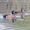 Blue-winged Teal (Male & Female)