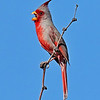 Pyrrhuloxia - Saguaro National Park - Arizona