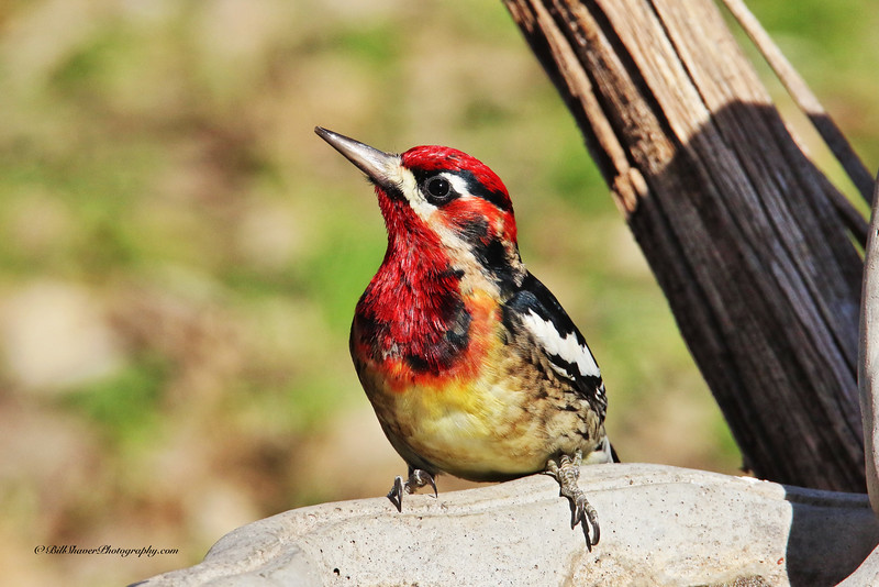 Hybrid Red Nap/Red Breast Sap Sucker Woodpecker