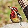Hybrid Red Nap/Red Breast Sap Sucker Woodpecker