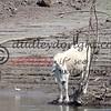LakeBaccaracMEX 3-2018-036 cow at water