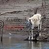 LakeBaccaracMEX 3-2018-037 cow at water