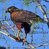 LakeFalcon 3-2018-114 redtail hawk