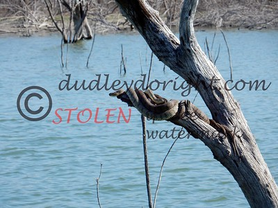 LakeFalcon 2-2017-028 water snakes