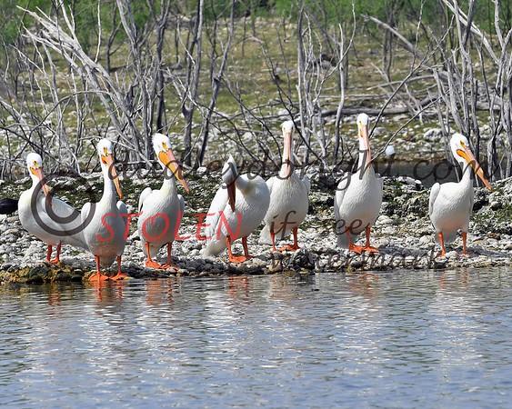 LakeSugarMEX 3-2018-092 pelicans
