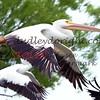 LakeSugarMEX 3-2015-060 pelicans