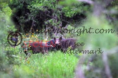 -KRanch610-144 feral hogs
