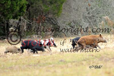 -KRanch28-463 hogs