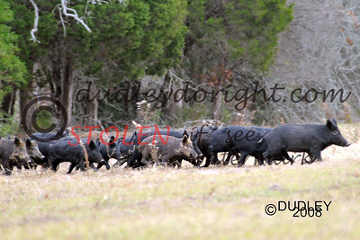 -KRanch28-460 hogs