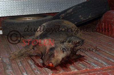 -KRanch23-015 feral hog