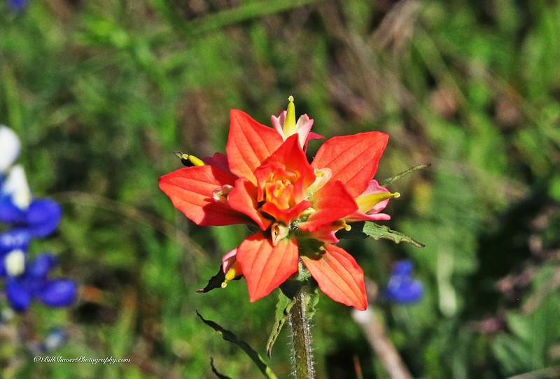 Orange Wildflower (16-2)