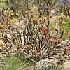 Cactus of Arizona