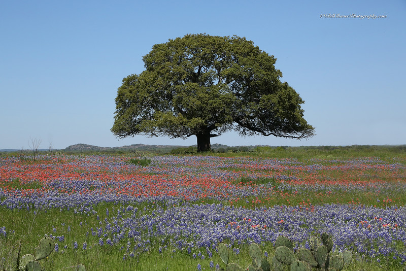 Oak Tree with cactus and wildflowers