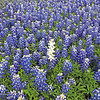 """White""  Bluebonnet"