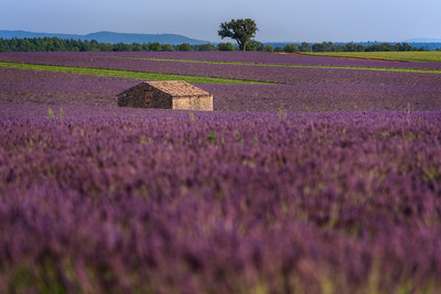 In to the lavander