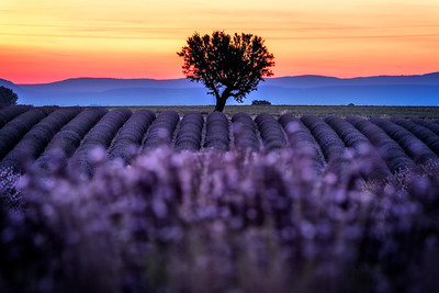 Lavander field at sunset