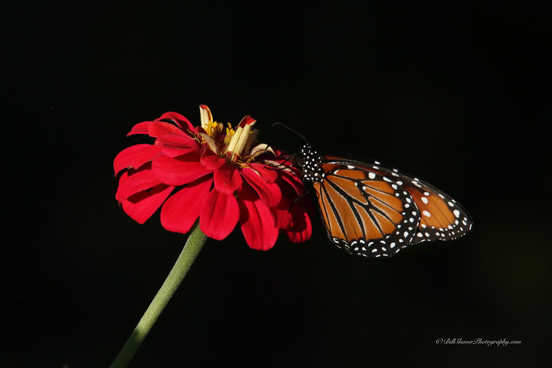 Monarch Butterfly on Red Zinna