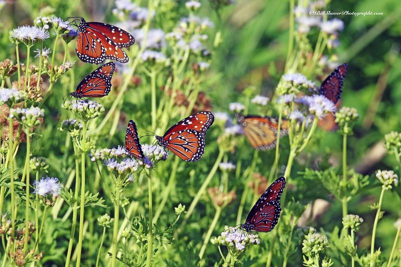 Oueen Butterflys