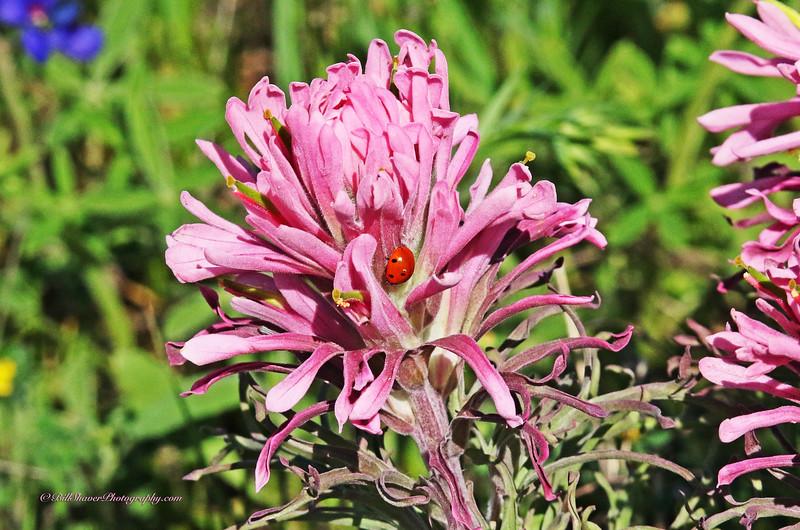 Indian Paint Brush & Lady Bug (16-1)