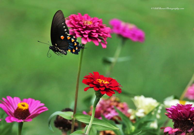 Pipevine Swallowtail Butterfly in flight
