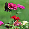 Pipevine Swallowtail Butterfly in flight