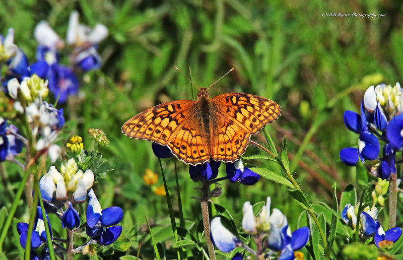 Admiral Butterfly on Bluebonnets