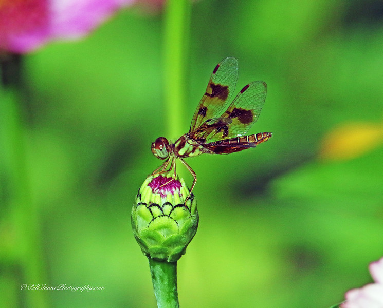 Amber-wing Dragonfly