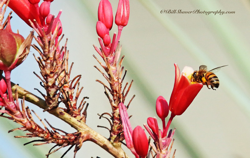 Bee on a Red Yucca