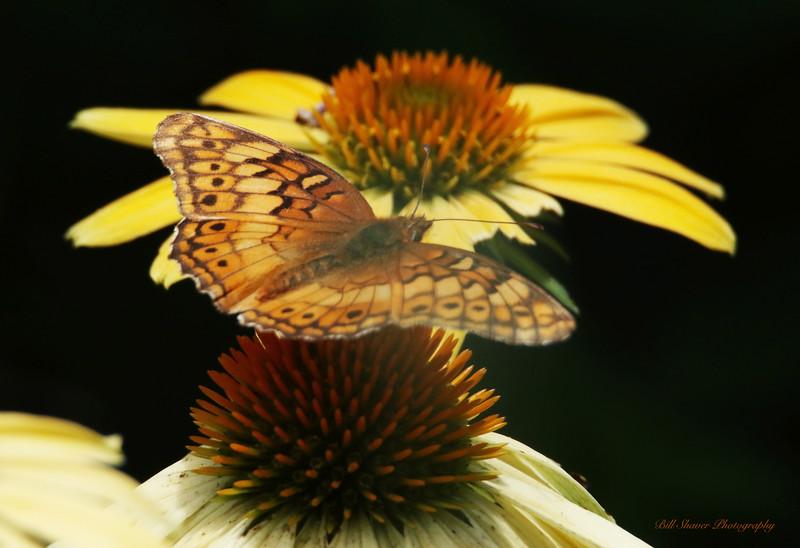 Butterfly / Black Backgound