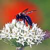 Black Bee & Black Hairstreak Butterfly