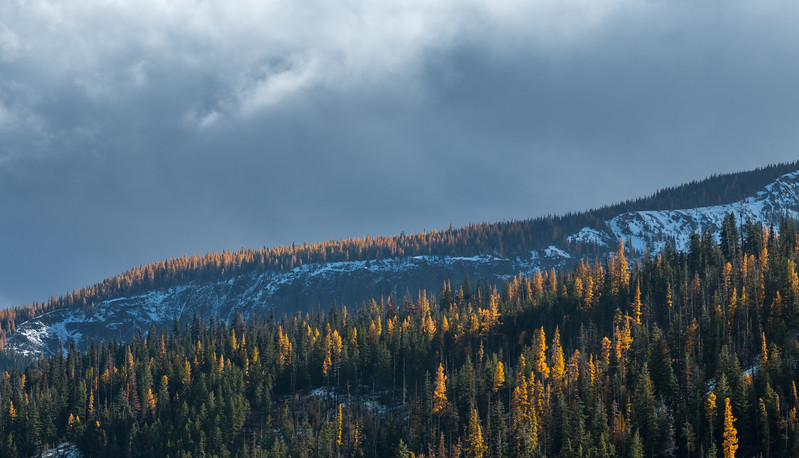 FALL LARCHES, PNW