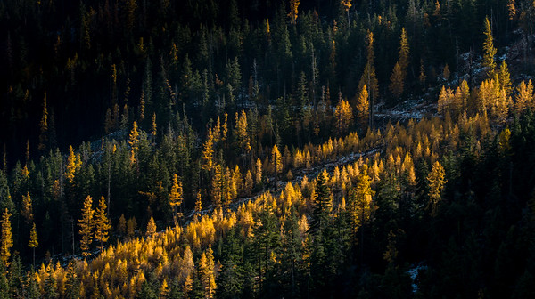 LARCHES IN THE SHADOW, PNW
