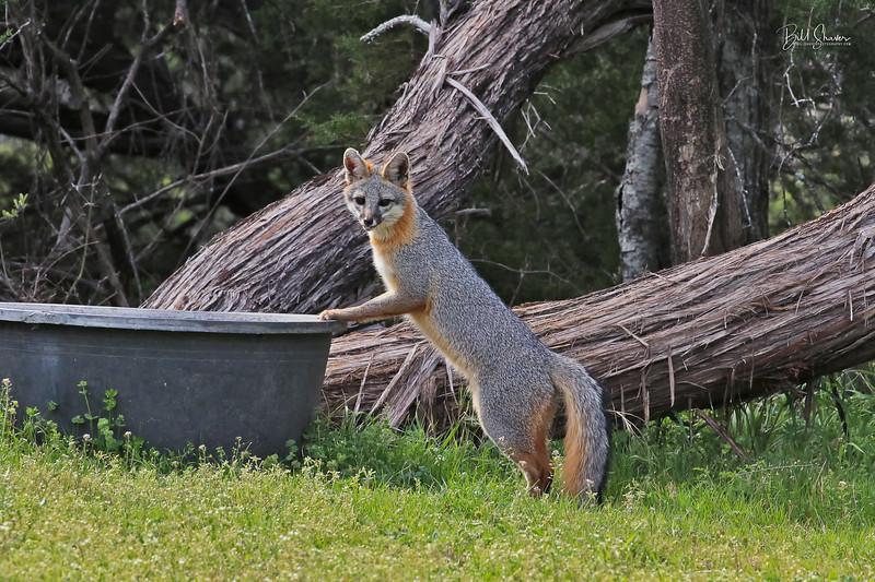 Gray Fox 2019-6