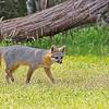 Gray Fox 2019-2