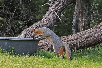 Gray Fox 2019-5