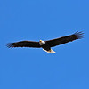American Bald Eagle - 1/31/19