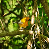Prothonotary Warbler - eating worm