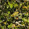 Yellow Warbler -2020