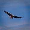 American Bald Eagle - Lake Waco, TX
