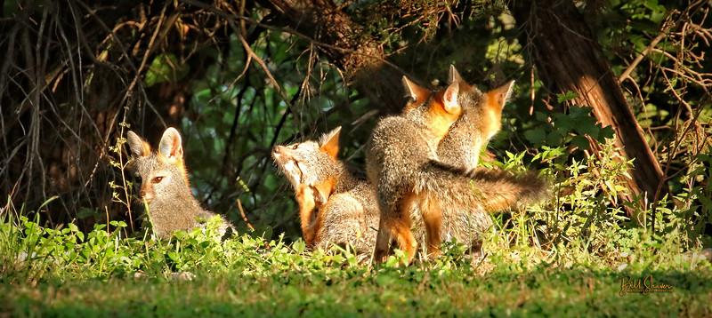 Baby Foxes -CS - 2020