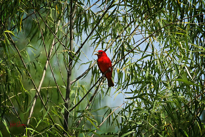 Summer Tanager - 2020 - Wetlands, Waco