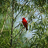 Summer Tanager - 2020 - Wetlands, Waco