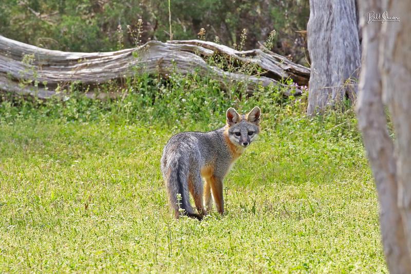 Gray Fox  2019-1
