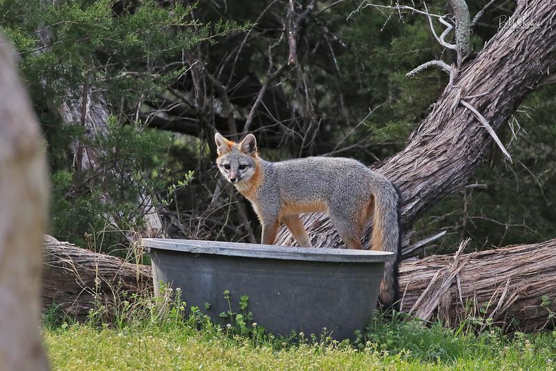 Gray Fox 2019-7
