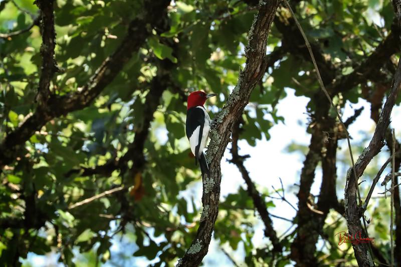 Redheaded Woodpecker - 2020