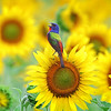 Rainbow & Sunshine - Bunting on Sunflower