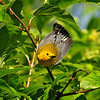 Prothonotary Warbler - showing off