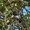 Juvenile Redheaded Woodpecker